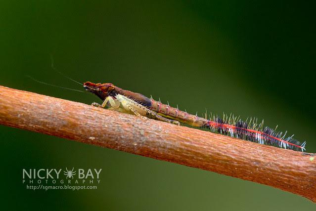 Leafhopper nymph (Selenocephalinae) - DSC_3302