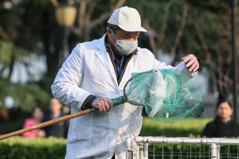 Un trabajador captura una paloma en Shangai.   Afp