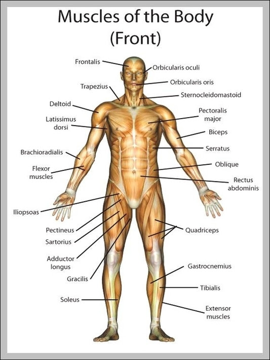 anatomy of the muscles