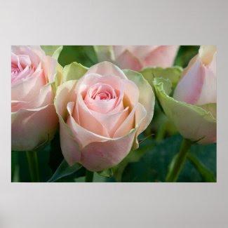 Pink Roses Poster print