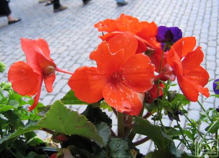 flowers :: blomster