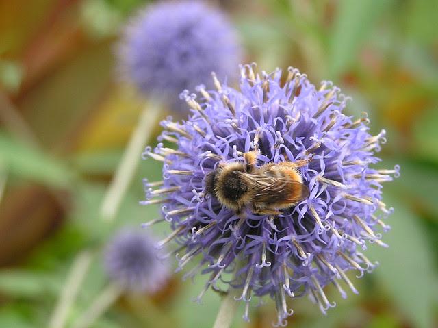 Bumblebee, Bombus sylvestris