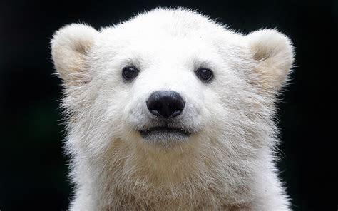polar bear computer wallpapers desktop backgrounds  id