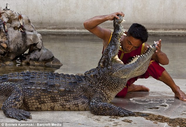 Staring into the abyss: Crocodile wrestler Somphop, 22, risks not seeing his 23rd birthday as he puts his head into the crocodile's mouth at Samphran Elephant Ground and Zoo