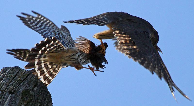 File:Falco columbarius pair Auburn NY 2.jpg