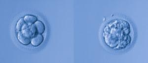 embrion-de-calidad-a-y-calidad-d