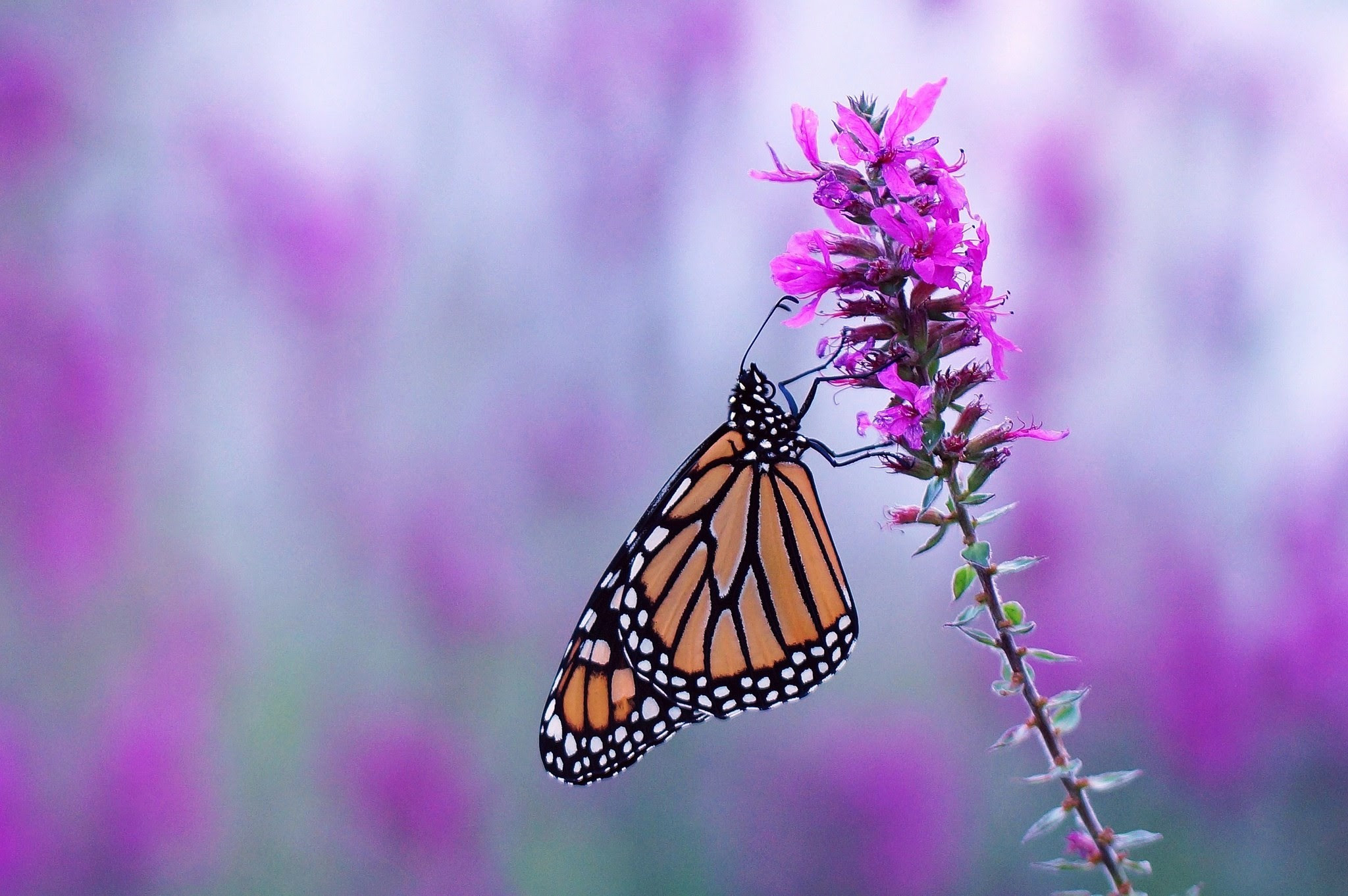 Butterfly Wallpaper for Computer (60+ images)