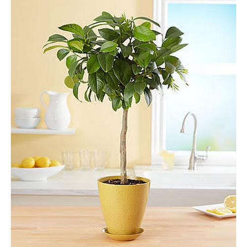 1-800 Flowers Meyer Lemon Tree - Plants by