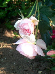 roses, 13 juin 2005