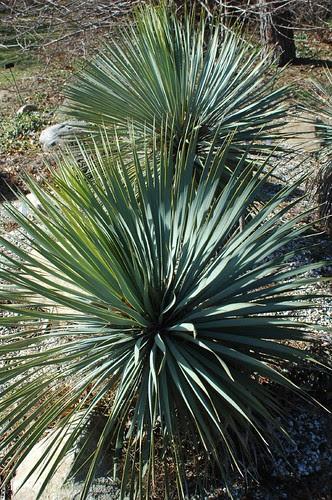 Yucca, Rock Garden, BBG