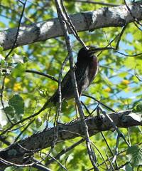 Parc de la Rivière-des-Mille-Îles, 11 September 2011, bird (TBD)