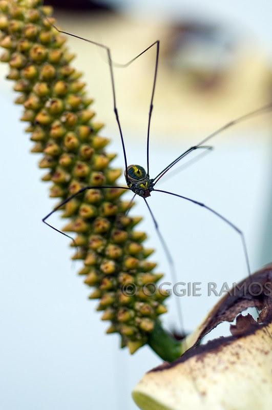 Imugan Spider IV