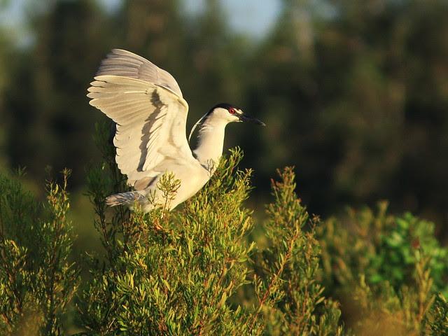 Black-crowned Night-Heron 20130807