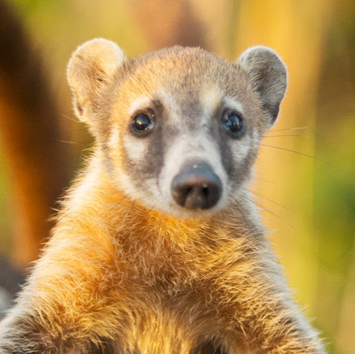 The Coati Is Part Raccoon, Part Monkey, and Part Pig | WIRED