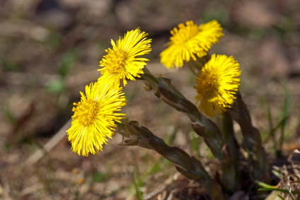 Coltsfoot–Herbal Cough Remedy