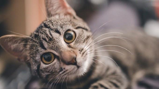 Estas son las enfermedades de la piel más frecuentes en gatos