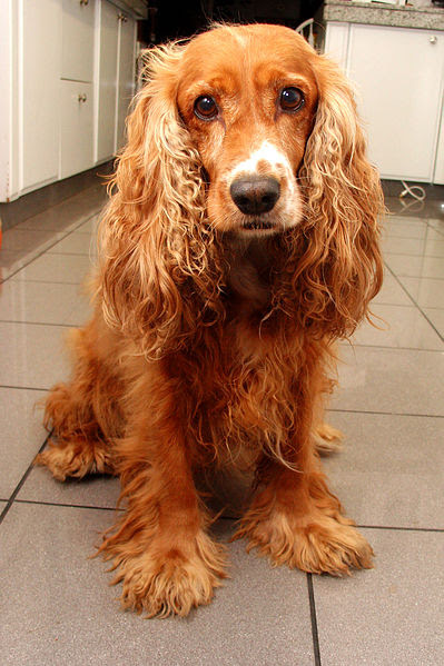 File:Home cocker spaniel.jpg