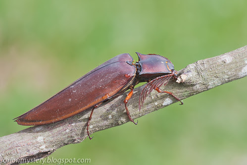 IMG_7053 copy click beetle Oxynopterus audouini