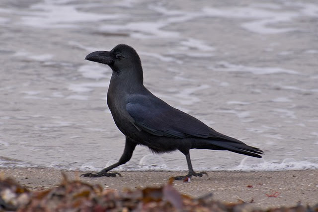 jungle crow