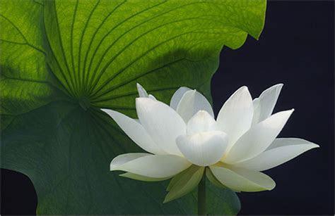 white lotus flower kamal ka phool artline feel