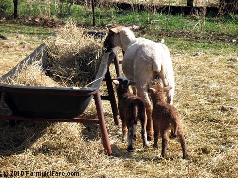 Random Lamb Cute 7