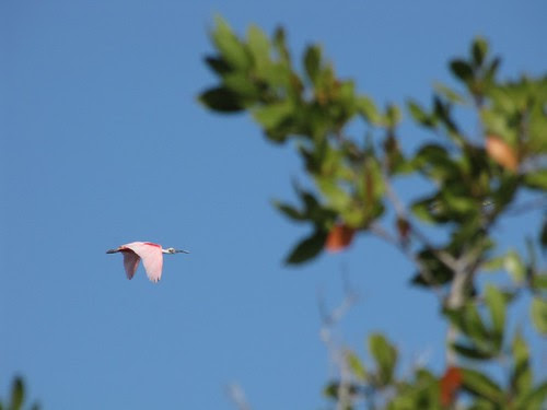 Roseate Spoonbill #2 (Inagua: Day 2)