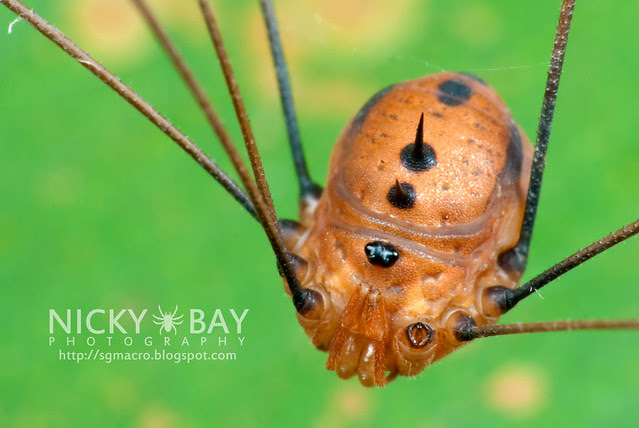 Is a Harvestman a Spider?