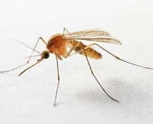 zanzara anofele portatrice di malaria