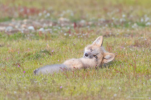 Red Fox Kit, San Juan Island, Washington