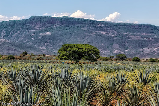 Entre agaves...
