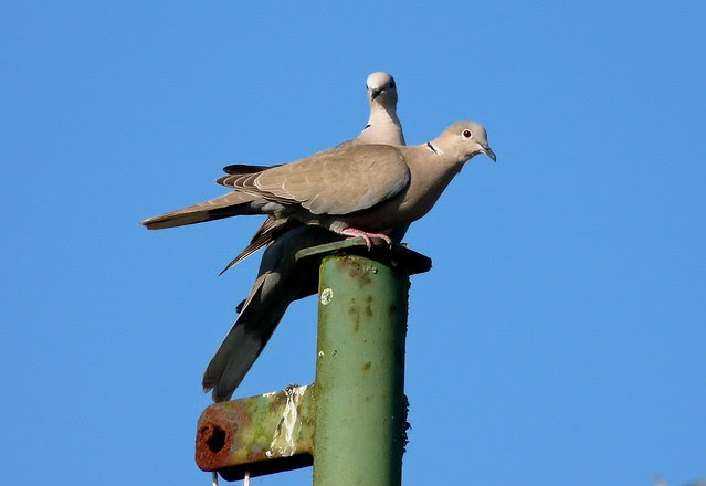 24435 - Collared Dove
