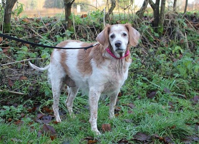 Sooty – 11 year old female Brittany Spaniel