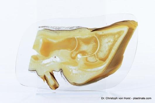 Httpsetsylisting229291454cow Foot Bovine Claw Anatomy