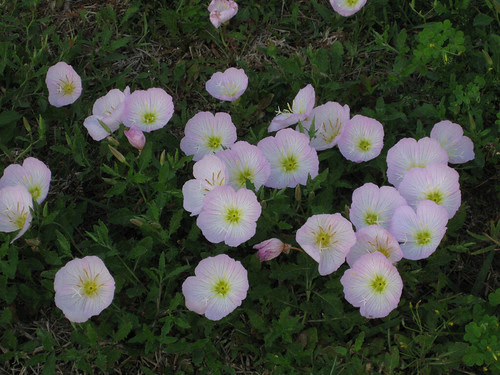 PinkPrimrose