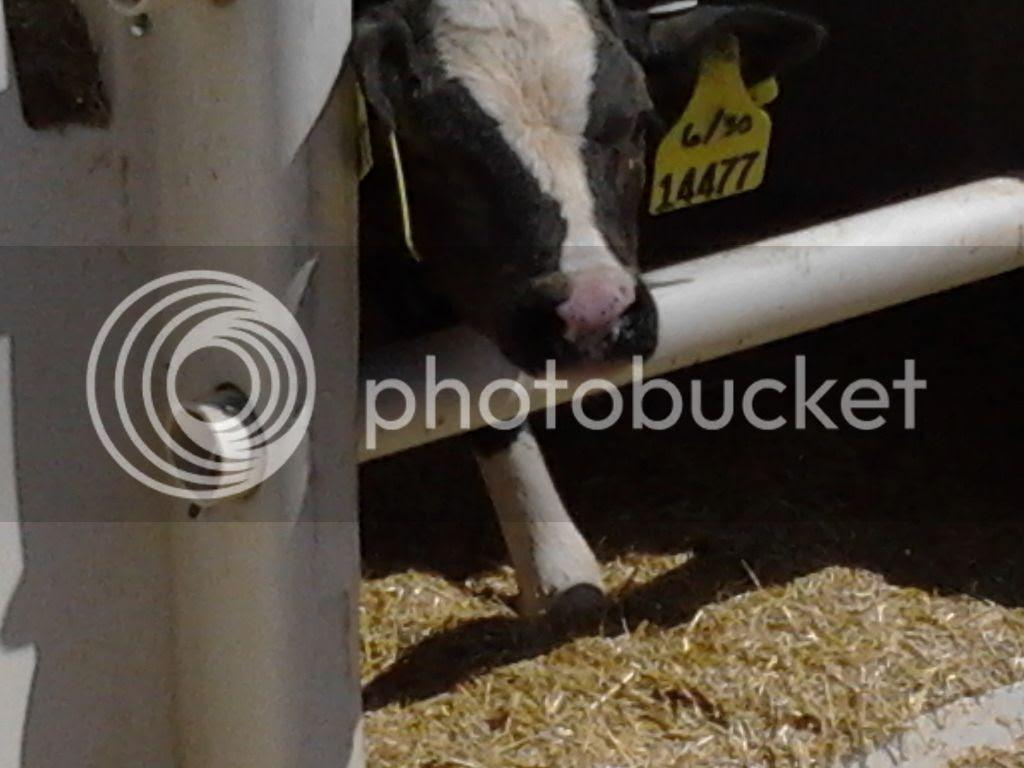Goma Dairy Farm Cow
