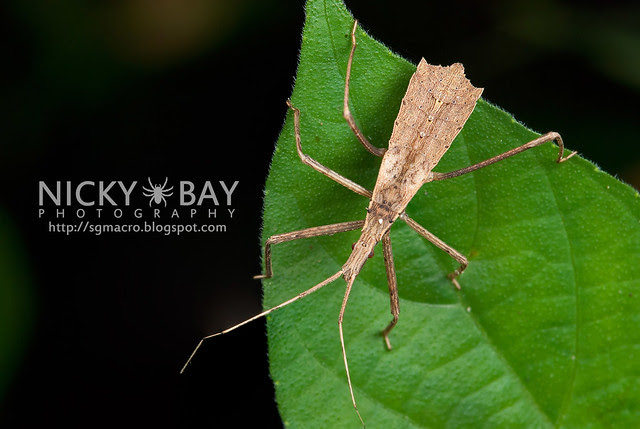 Assassin Bug (Reduviidae) - DSC_8628