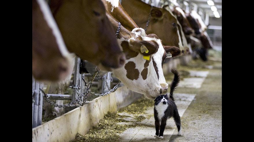 Resultado de imagem para vacas