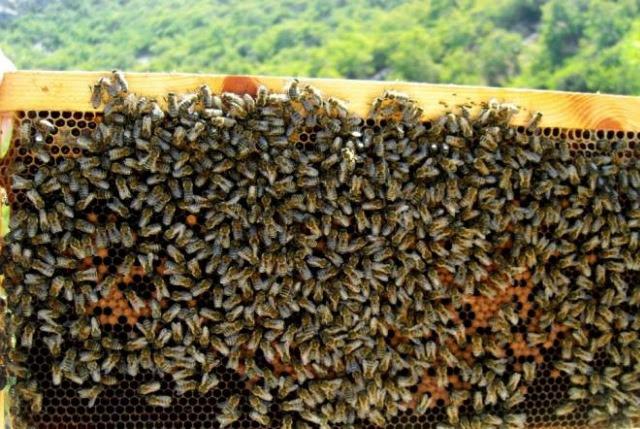 Ψέκασαν με ισχυρά δηλητήρια 80 κυψέλες, σκοτώνοντας εκατομμύρια μέλισσες!
