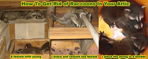 How to Get Rid of Raccoons in the Attic, House, Roof, Crawl Space, Yard or Tree