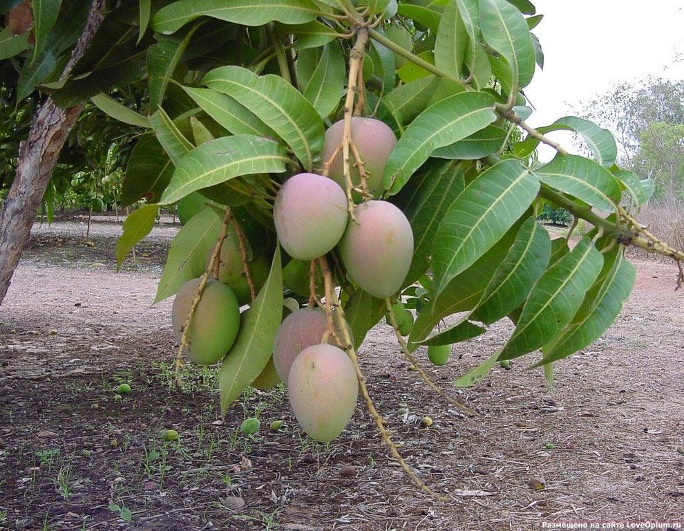 Как растет манго