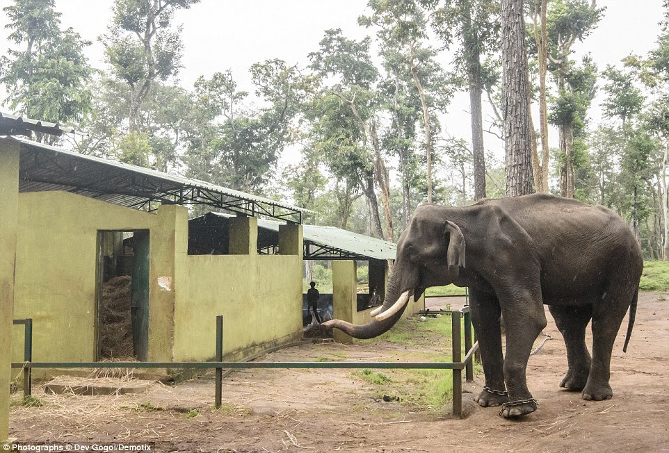 A 40-year-old tusker ,who went 'berserk' after being chained in a temple for 10 years, was brought to the camp to be 'corrected'