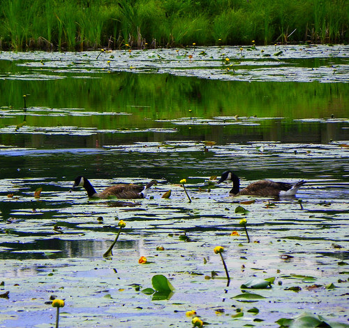 Canada Geese On A Waterlily Pond II