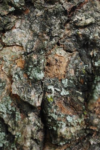 Bark of Silver Maple