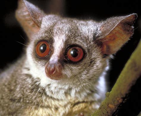 Primate Factsheets Image: South African lesser bushbaby (Galago moholi)