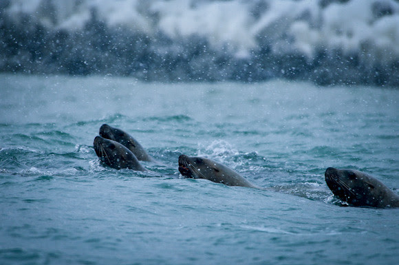 20130119-DSC_0407NorthernSeaLion