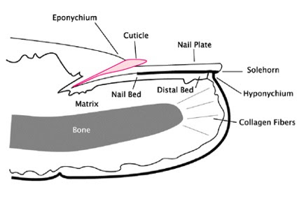 Fingernail Diagram