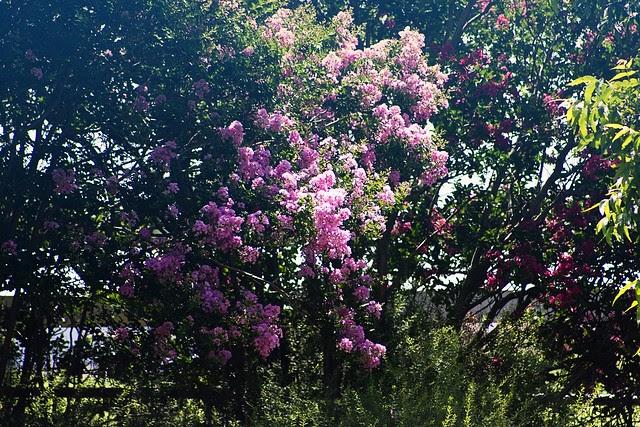 { Crepe Myrtles in Bloom }