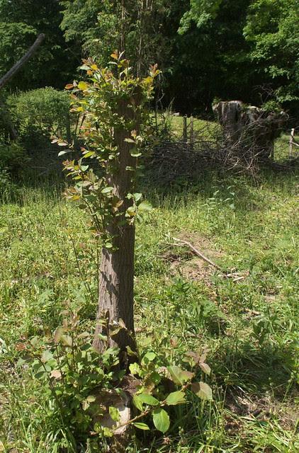DSC_8056 Pollarded tree