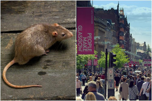 Glasgow overrun by RATS and pest control missing thousands of call-outs, claims council whistleblower