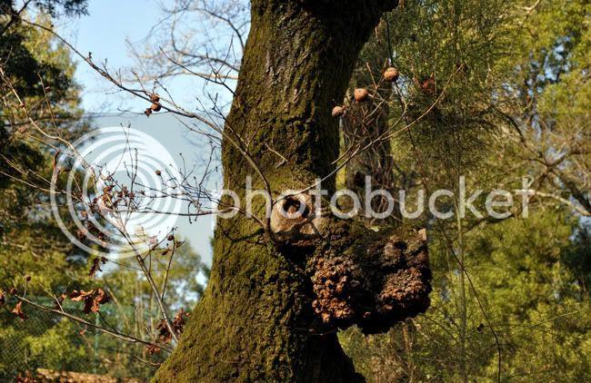 Árvore-cão